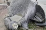 Massive Blue Whale carcass washes ashore